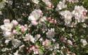 Tapeta Kvetoucí jabloň