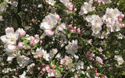 Tapeta: Kvetoucí jabloň