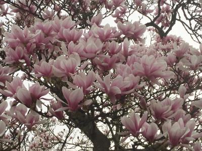Tapeta: Kvetoucí magnolie