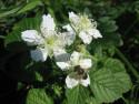 Tapeta kvetoucí ostružina