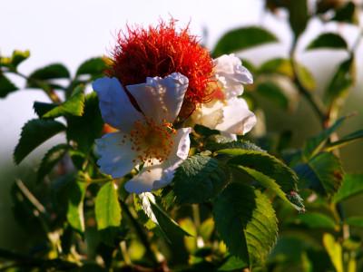 Tapeta: Kvetoucí šípek