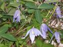 Tapeta Květy clematisu