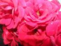 Tapeta Květy růže