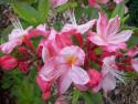 Tapeta Květy růžové azalky