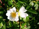 Tapeta Květy šípků