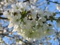 Tapeta Květy třešní