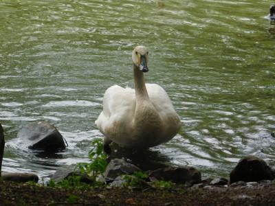 Tapeta: Labuť jde z vody