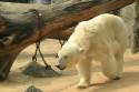 Tapeta Lední medvěd