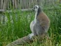 Tapeta Lemur sedící