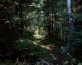 Tapeta Lesní porost 5