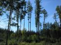 Tapeta Lesy nad Kunčinou 02