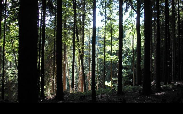 Tapeta lesy_nad_kuncinou_18