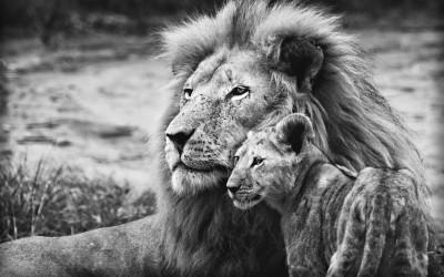 Tapeta: Lev s lvíčetem