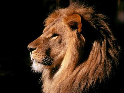 Tapeta: Lev z profilu