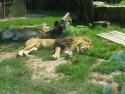 Tapeta Lev zoo