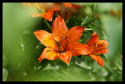 Tapeta lilie oranžová