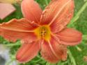 Tapeta lilie oranžová (nepravá)