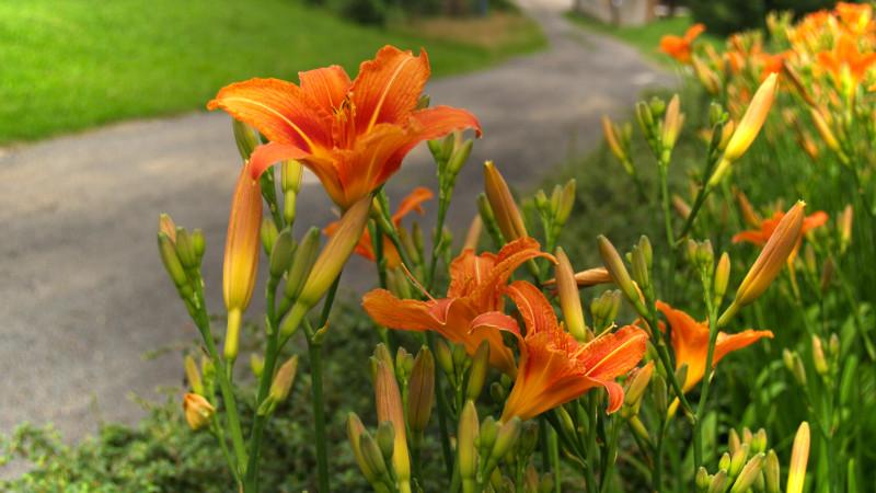 Tapeta lilie_oranzove