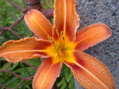 Tapeta: Lilie zlatá