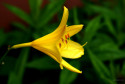 Tapeta lilie žlutá