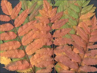 Tapeta: Listy jeřabin
