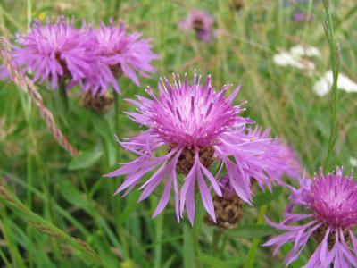 Tapeta: Luční květiny 9