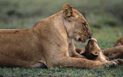 Tapeta: Lvice s lvíčetem
