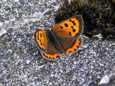 Tapeta: Lycaena phlaeas