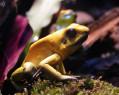 Tapeta Macro Frog