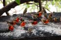 Tapeta Madagaskarský vrabec