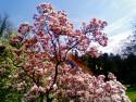 Tapeta magnolia s duhou