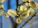 Tapeta MAKRO - Kočičky v květu