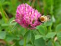Tapeta MAKRO - včela a jetel