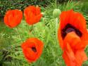 Tapeta Máky zahradní