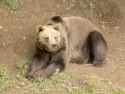 Tapeta Medvěd