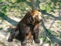 Tapeta Medvěd 2