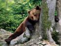 Tapeta Medvědi 3