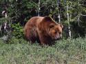 Tapeta Medvědi 5