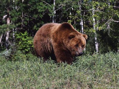 Tapeta: Medvědi 5