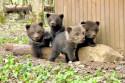 Tapeta Medvíďata