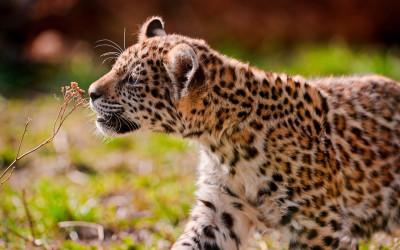 Tapeta: Mládě jaguára