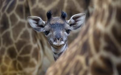 Tapeta: Mládě žirafy