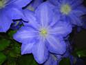 Tapeta modrá krása
