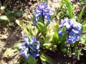 Tapeta Modré hyacinty