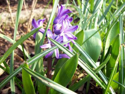 Tapeta: Modrý hiacint