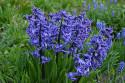 Tapeta Modrý hyacint