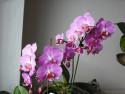 Tapeta moje orchidea