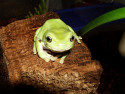 Tapeta Žába