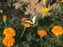 Tapeta motýl