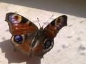 Tapeta Motýl 2